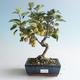 Outdoor bonsai - Malus halliana - Small Apple 408-VB2019-26752 - 1/4