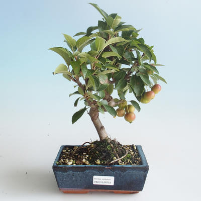 Outdoor bonsai - Malus halliana - Small Apple 408-VB2019-26753 - 1
