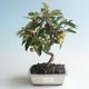 Outdoor bonsai - Malus halliana - Small Apple 408-VB2019-26755 - 1/4