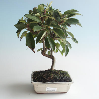 Outdoor bonsai - Malus halliana - Small Apple 408-VB2019-26756 - 1