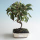 Outdoor bonsai - Malus halliana - Small Apple 408-VB2019-26756 - 1/4