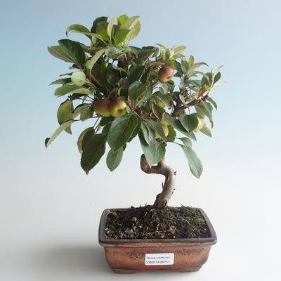 Outdoor bonsai - Malus halliana - Small Apple 408-VB2019-26757 - 1