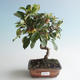Outdoor bonsai - Malus halliana - Small Apple 408-VB2019-26757 - 1/4