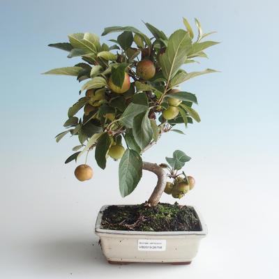 Outdoor bonsai - Malus halliana - Small Apple 408-VB2019-26758 - 1