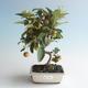 Outdoor bonsai - Malus halliana - Small Apple 408-VB2019-26758 - 1/4