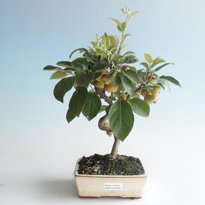 Outdoor bonsai - Malus halliana - Small Apple 408-VB2019-26759 - 1