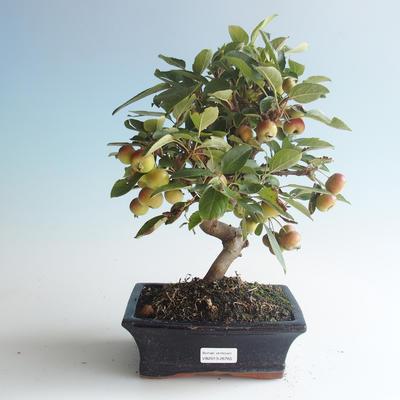 Outdoor bonsai - Malus halliana - Small Apple 408-VB2019-26765 - 1