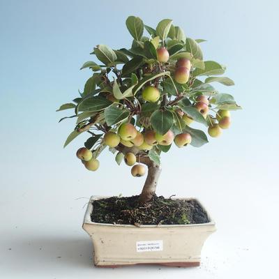Outdoor bonsai - Malus halliana - Small Apple 408-VB2019-26766 - 1