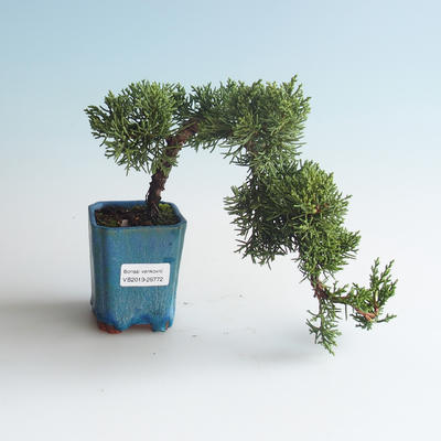 Outdoor bonsai - Juniperus chinensis - Chinese juniper 408-VB2019-26772