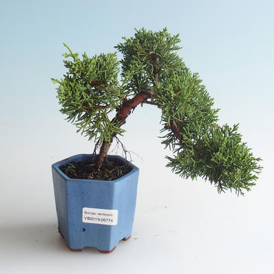 Outdoor bonsai - Juniperus chinensis - Chinese juniper 408-VB2019-26774