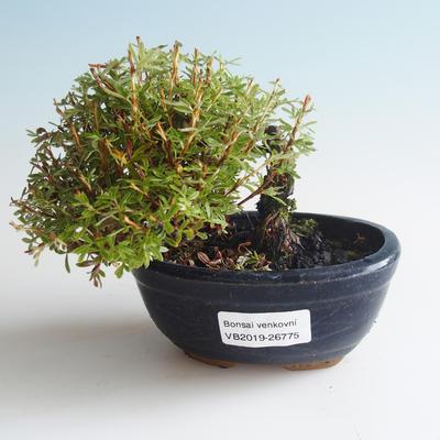 Outdoor bonsai-Bush Cinquefoil - Dasiphora fruticosa yellow 408-VB2019-26775 - 1