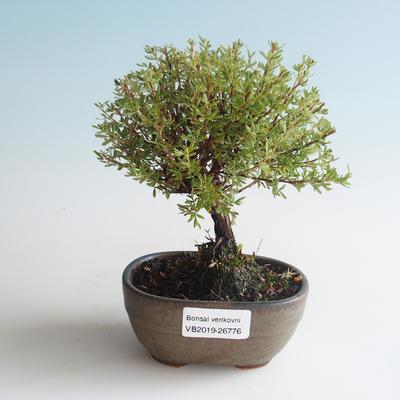 Outdoor bonsai-Bush Cinquefoil - Dasiphora fruticosa yellow 408-VB2019-26776 - 1