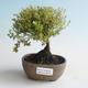 Outdoor bonsai-Bush Cinquefoil - Dasiphora fruticosa yellow 408-VB2019-26779 - 1/2
