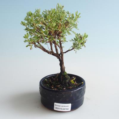Outdoor bonsai-Bush Cinquefoil - Dasiphora fruticosa yellow 408-VB2019-26780 - 1
