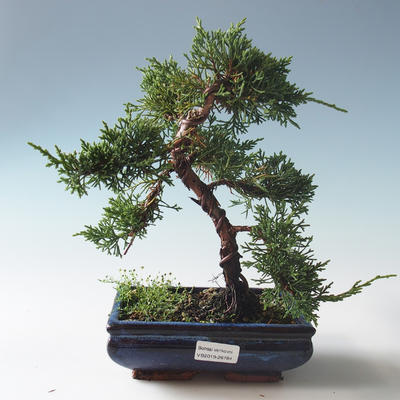 Outdoor bonsai - Juniperus chinensis - Chinese juniper 408-VB2019-26784