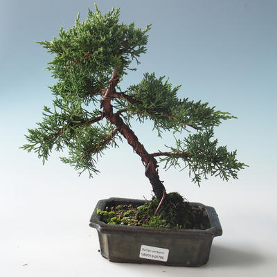 Outdoor bonsai - Juniperus chinensis - Chinese juniper 408-VB2019-26785