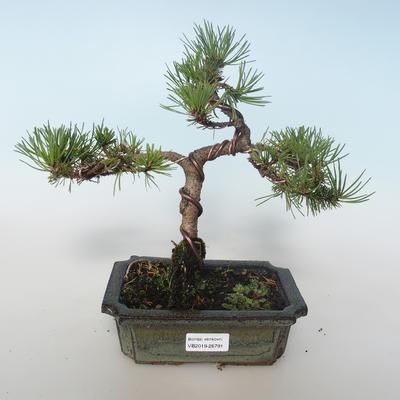 Outdoor bonsai - Pinus mugo Humpy - Pine kneel 408-VB2019-26791