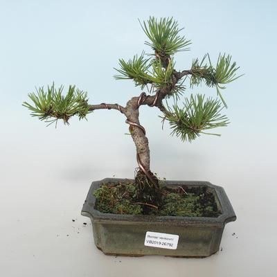 Outdoor bonsai - Pinus mugo Humpy - Pine kneel 408-VB2019-26792