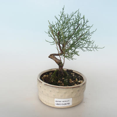 Outdoor bonsai - Tamaris parviflora Small-leaved Tamarisk 408-VB2019-26795 - 1