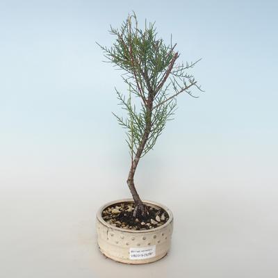 Outdoor bonsai - Tamaris parviflora Tamarisk 408-VB2019-26797 - 1
