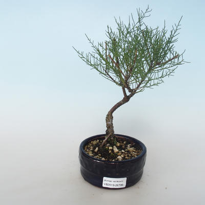 Outdoor bonsai - Tamaris parviflora Small-leaved Tamarisk 408-VB2019-26799 - 1