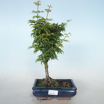 Outdoor bonsai - Acer palmatum SHISHIGASHIRA- Small-leaved Maple VB2020-671 - 1