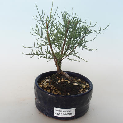 Outdoor bonsai - Tamaris parviflora Small-leaved Tamarisk 408-VB2019-26801 - 1