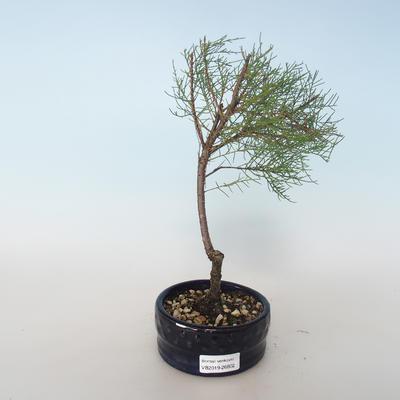 Outdoor bonsai - Tamaris parviflora Small-leaved Tamarisk 408-VB2019-26802 - 1