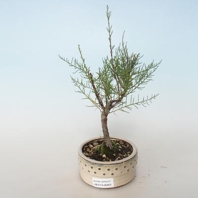 Outdoor bonsai - Tamaris parviflora Small-leaved Tamarisk 408-VB2019-26803 - 1
