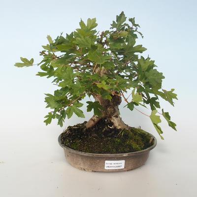 Outdoor bonsai-Acer campestre-Maple Babyb 408-VB2019-26807 - 1