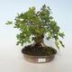 Outdoor bonsai-Acer campestre-Maple Babyb 408-VB2019-26807 - 1/5