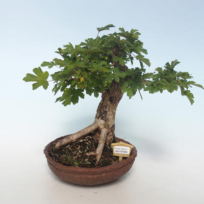 Outdoor bonsai-Acer campestre-Maple Baby 408-VB2019-26808 - 1