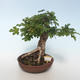 Outdoor bonsai-Acer campestre-Maple Baby 408-VB2019-26808 - 1/3