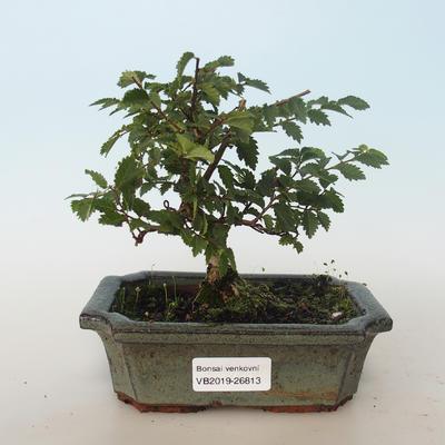 Outdoor bonsai-Ulmus parvifolia-Small leaf elm 408-VB2019-26813