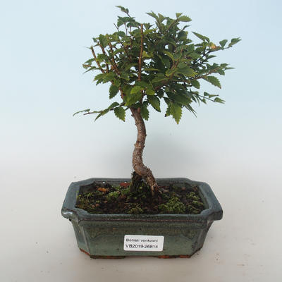 Outdoor bonsai-Ulmus parvifolia-Small leaf elm 408-VB2019-26814