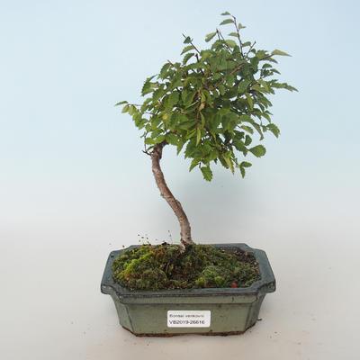 Outdoor bonsai-Ulmus parvifolia-Small leaf elm 408-VB2019-26816