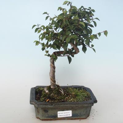 Outdoor bonsai-Ulmus parvifolia-Small leaf elm 408-VB2019-26818