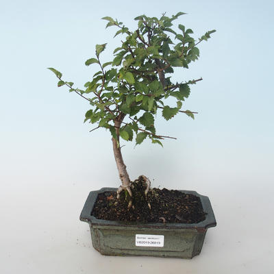 Outdoor bonsai-Ulmus parvifolia-Small leaf elm 408-VB2019-26819