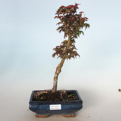 Outdoor bonsai - Acer palmatum SHISHIGASHIRA- Small maple VB-26954 - 1