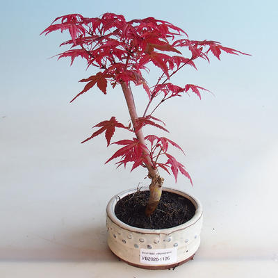 Outdoor bonsai - Maple palmatum DESHOJO - Maple palmate - 1