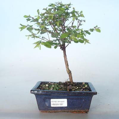 Outdoor bonsai Pámelník - symphoricarpos chenaultii hancock VB2020-722 - 1