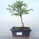 Outdoor bonsai Pámelník - symphoricarpos chenaultii hancock VB2020-722 - 1/2
