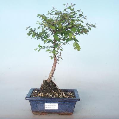 Outdoor bonsai Pámelník - symphoricarpos chenaultii hancock VB2020-723 - 1