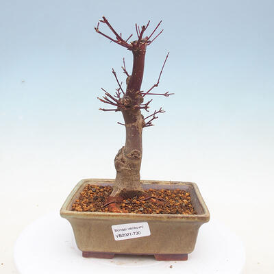 Outdoor bonsai - Maple palmatum DESHOJO - Japanese Maple - 1