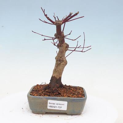 Outdoor bonsai - Maple palmatum DESHOJO - Japanese Maple - 1