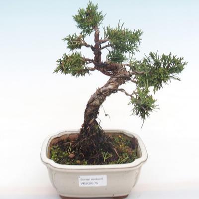 Outdoor bonsai - Juniperus chinensis - Chinese juniper VB2020-75 - 1