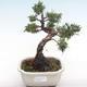 Outdoor bonsai - Juniperus chinensis - Chinese juniper VB2020-75 - 1/2