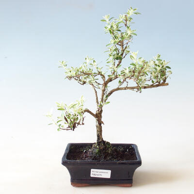 Indoor bonsai - Serissa foetida Variegata - Tree of a Thousand Stars