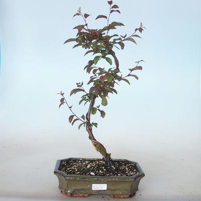 Outdoor bonsai - Prunus spinosa purpurea - Red-leaved Blackthorn VB2020-766