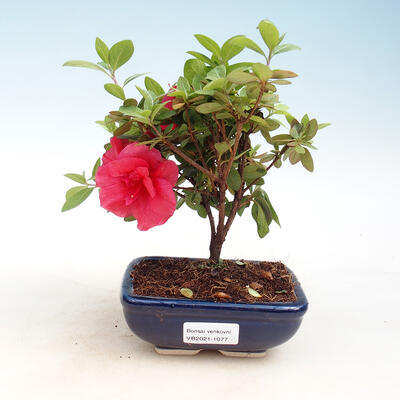 Outdoor bonsai - Rhododendron sp. - Pink azalea
